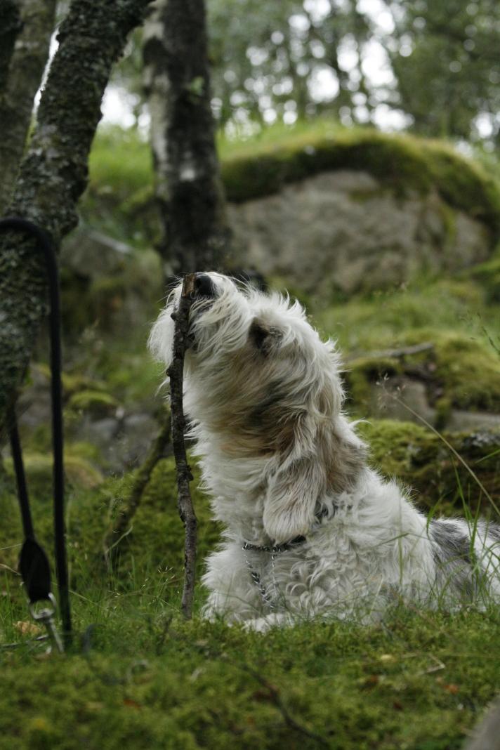men han gleder seg mer til jakten når han slipper å være i bånd, i mangel på annen aktivitet fikk han en pinne. Heldig hund dette her...