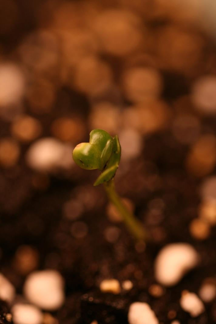 litenplante