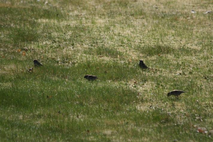 småfugler